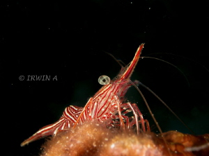 The Cleaner Shrimp